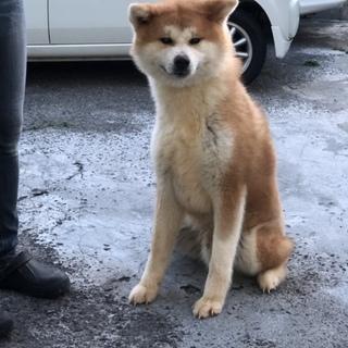 秋田犬の男の子です。
