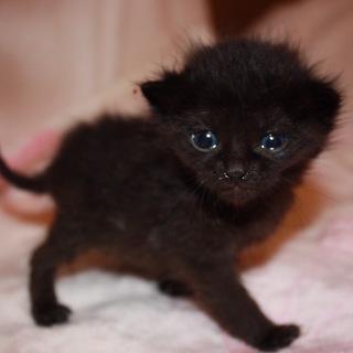 赤ちゃん黒猫きくまつ君離乳中