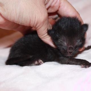 かわいい赤ちゃん黒猫ひらまつ君授乳中