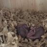 4月3日にシマリスの赤ちゃんが10匹生まれました!