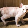 人なつっこい小柄ベージュ縞模様・3ヶ月子猫