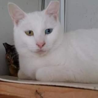 オッドアイ等の白猫(1-2歳)オス