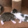 4/6 子猫 / 3ヶ月は様子見ます サムネイル2