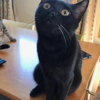 1歳くらい 黒猫男子 ベタ慣れビータン