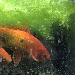金魚2匹、里親募集中