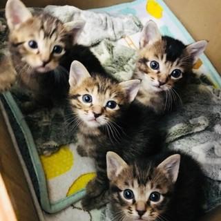 子猫の里親募集です