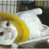 ビリケン猫★チャパツくん 推定1歳 ♂ @港区青山 サムネイル3