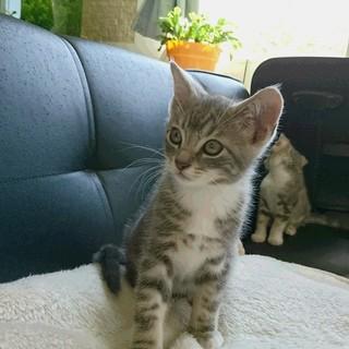 スコとアメショミックスの子猫里親募集します
