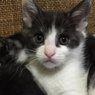 通称トラ白♂ 生後47日 ベンガルと黒猫の子供