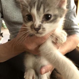 多頭飼育崩壊の子猫2ヶ月♂里親さん募集