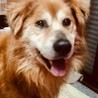 とても穏やかな性格。ゴールデン風のミックス犬