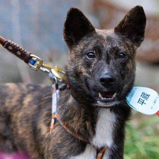 平蔵 平和主義の琉球犬MIX黒虎2歳くらい