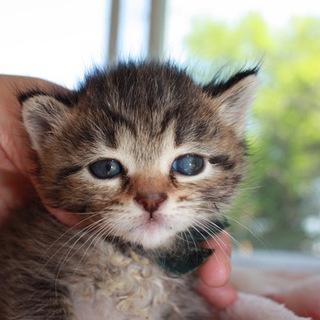 可愛いころころの赤ちゃんキジトラとうどう君離乳中
