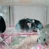 ベタなれカラーマウス