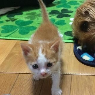子猫(茶トラ男の子)生後1ヶ月の里親募集