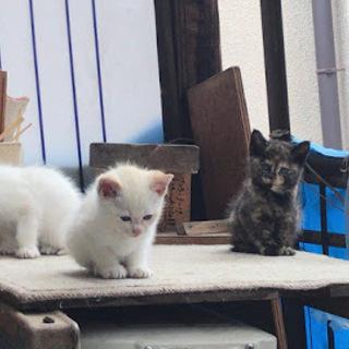 シャムミックスとサビ猫ちゃんの兄弟♡