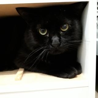 2才のオス黒猫、真ん丸。