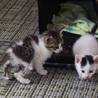 離乳期の姉弟の2匹の子猫(白黒ぶち・白キジトラ)
