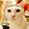 カツラ猫の受難 かつら 2歳前後