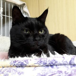 一匹飼いか猫エイズの先住猫のいるお家希望・ジジ