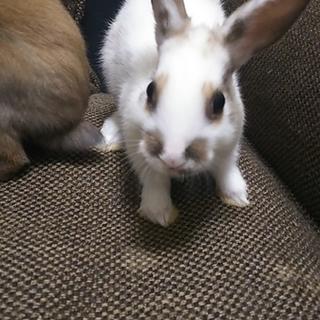 2月26日生まれミニウサギの赤ちゃん