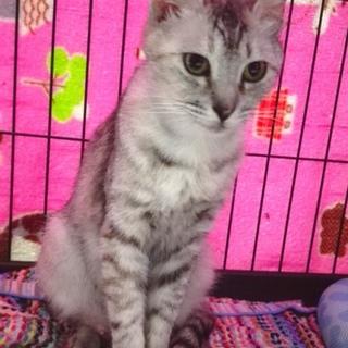 美しいシルバースモークのママ猫ちゃん