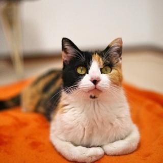 【マハル】私も甘えたいにゃ!人間大好き三毛猫ママ