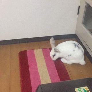 2歳の白いウサギちゃん・里親募集中です。