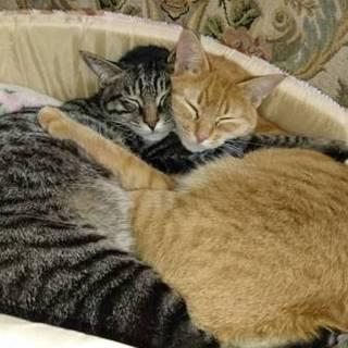 チャトラの母猫  ミーシャ