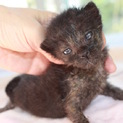 元気なカギ尻尾の赤ちゃん黒猫あかまつ君