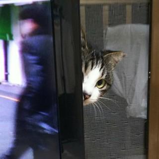 エイズキャリアですが、元気な美猫パール