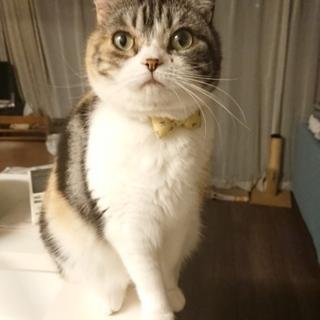 血統書付きスコ☆三毛の超美猫!甘えん坊な女の子