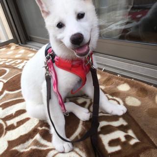 白い子犬☆シータちゃん☆3.5ヶ月