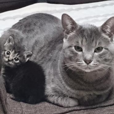 父猫と茶サバトラ♀