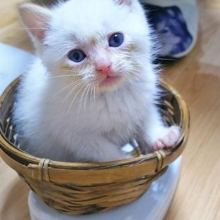 生後1ヶ月半 キトンブル-白猫くん