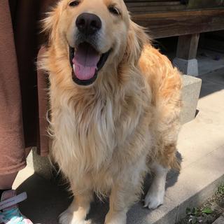 ゴールデン3歳メスの新しい飼い主さん募集!