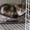 くびれ尻尾の三毛猫ちゃん サムネイル7