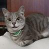 銀色の子猫