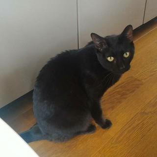 美猫の甘えん坊黒猫キリー、膝からおりません!