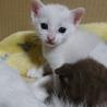 黒模様の白猫ちゃん!里親決定!