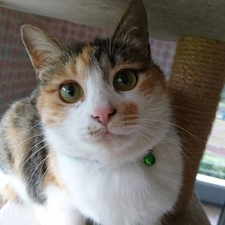 千葉県白井市/寂しがり屋の三毛猫