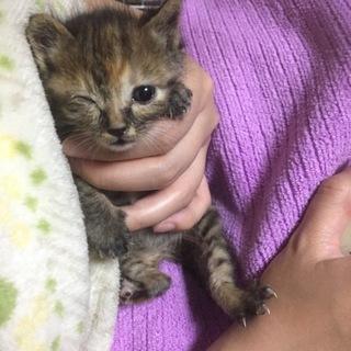 【急募】生後3週間の子猫