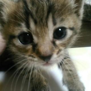 生後3週間ほどの子猫