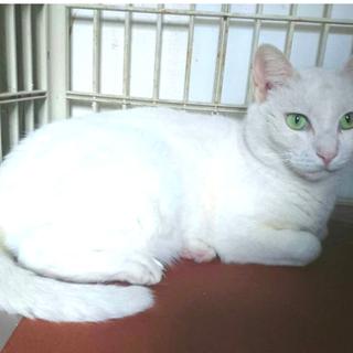 きれいな白猫☆わさこちゃん 5才