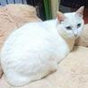 きれいな白猫☆わさこちゃん 5才 サムネイル2