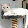 きれいな白猫☆わさこちゃん 5才 サムネイル3