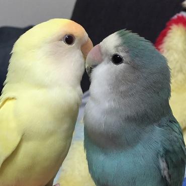 最近仲良しな2羽だけど、最初はきなことあずきが同じ日にお迎えして喧嘩もしながら放鳥すると追いかけっこしてたのはあずきとでしたが、今じゃきなこはずんだの方が好きみたい。よく見たらこの写真、小さくあずきが写ってる。何だか切ない(T ^ T)