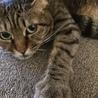 ★完全室内飼い★メス猫ちゃんの里親募集です♡