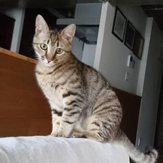 ◎猫さんとの同居OK!!6ヶ月半キジトラ男子◎