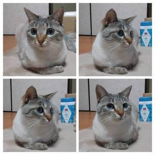 怖がりのシャム風猫ちゃん